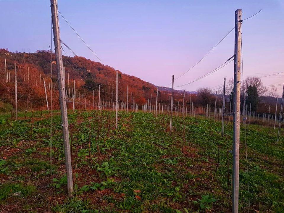 Filari al tramonto azienda agricola La Chiosa