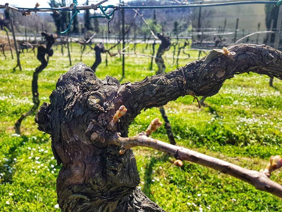Fioritura vigne La Chiosa