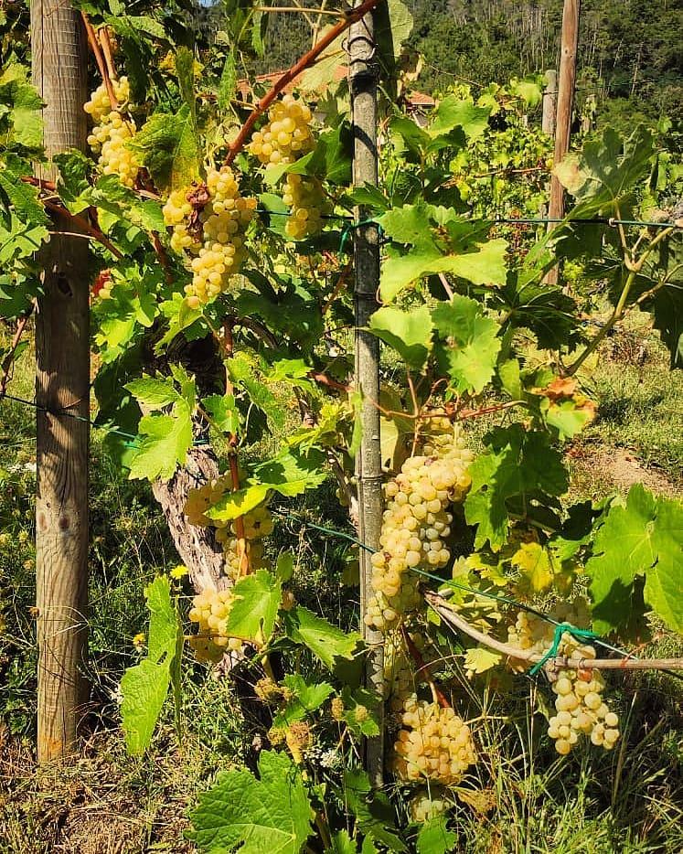 Grappoli uva bianca La Chiosa