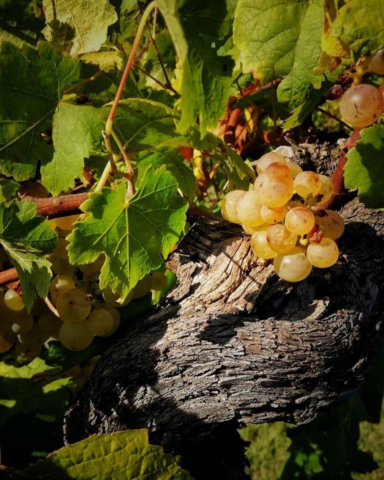 Primi grappoli uva bianca La Chiosa