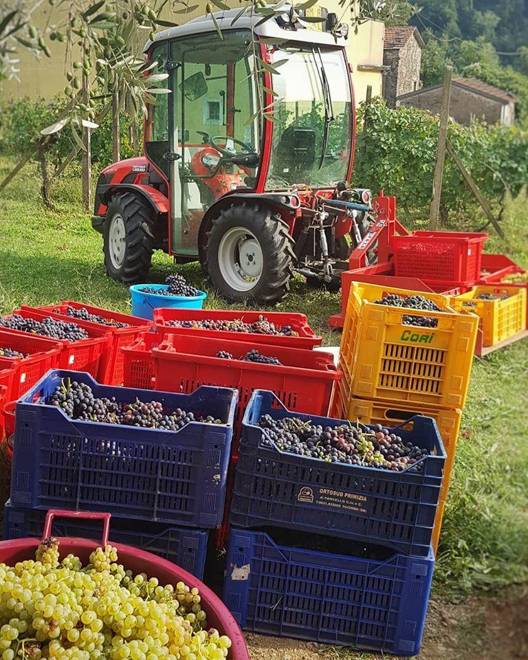 Raccolta uva da vino La Chiosa