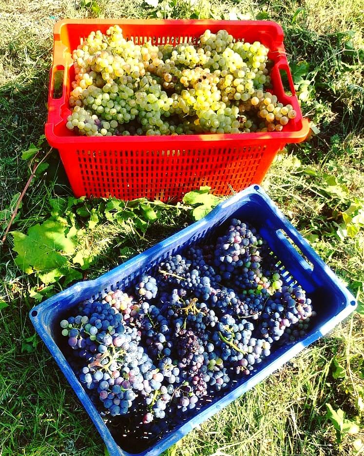 Vendemmmia uva rossa e bianca